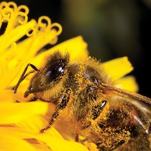 Bee closeup