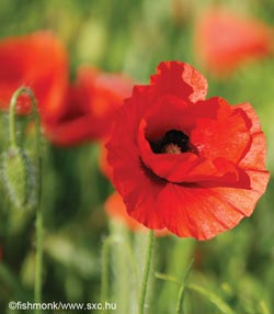 A poppy