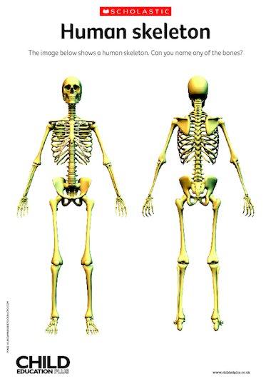 read book human skeleton activity village pdf - read book online, Skeleton