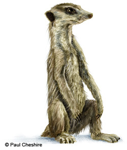 Illustration of meerkat image