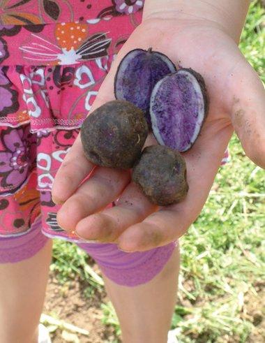 Shetland Black potatoes