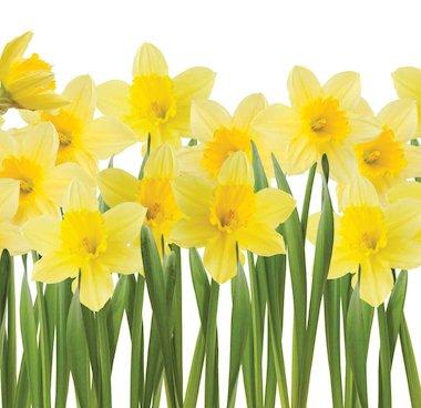 Daffodils © andyd/www.istockphoto.com