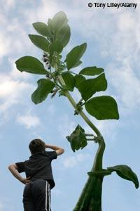 Tall beanstalk